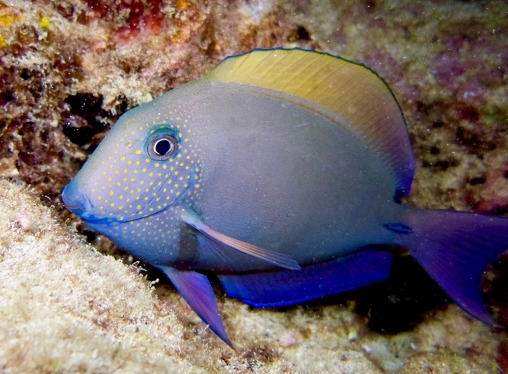 Creature Feature - Brown Surgeonfish